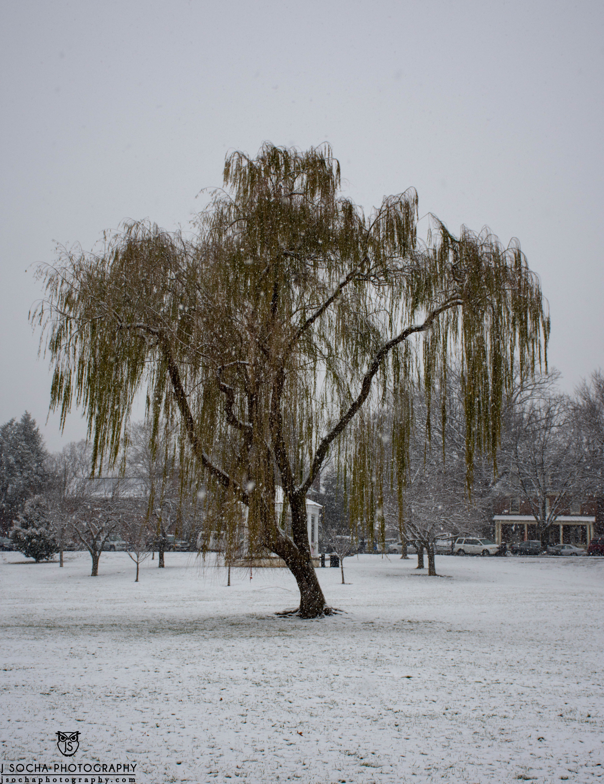 Frederick's Beloved Weeping Willow