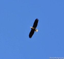 Mature Bald Eagle