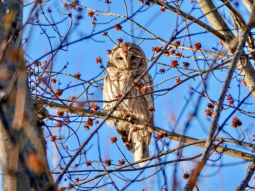 Barred Owl On The Monocacy River Trail
