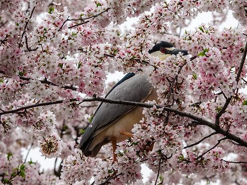 Black Crowned Night Heron Baker Park