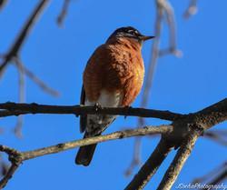 Adult Male Robin