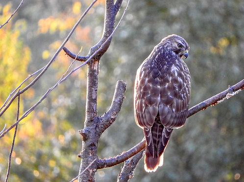 Red Shouldered Hawk At Sunset