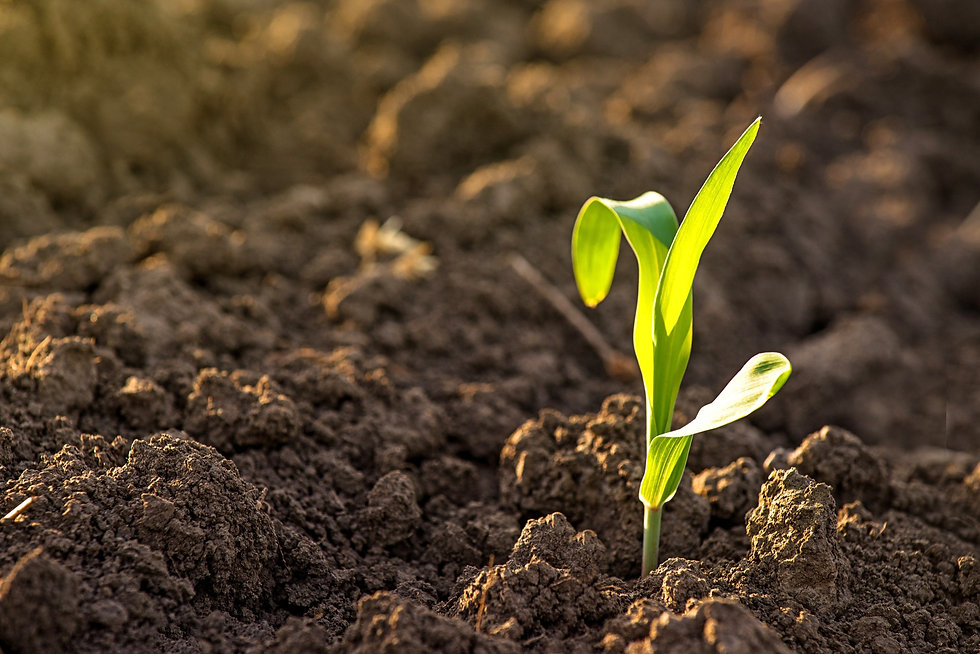 Growing Young Green Corn Seedling Sprout