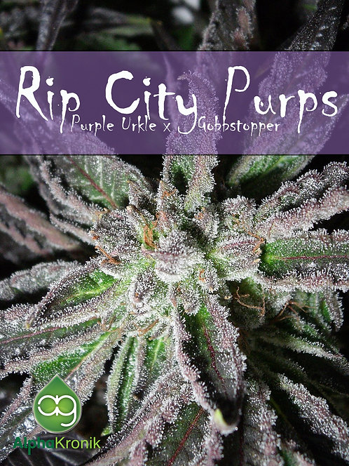 Rip City Purps (Purple Urkle x Gobbstopper) 10 Seeds *FINAL RESTOCK*