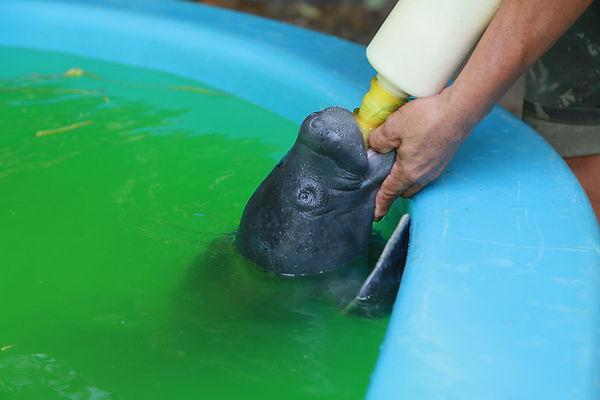 Amazon manatee baby
