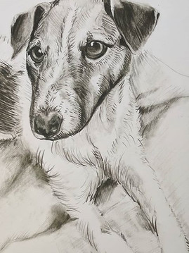 Pencil Portrait - Jack Russell