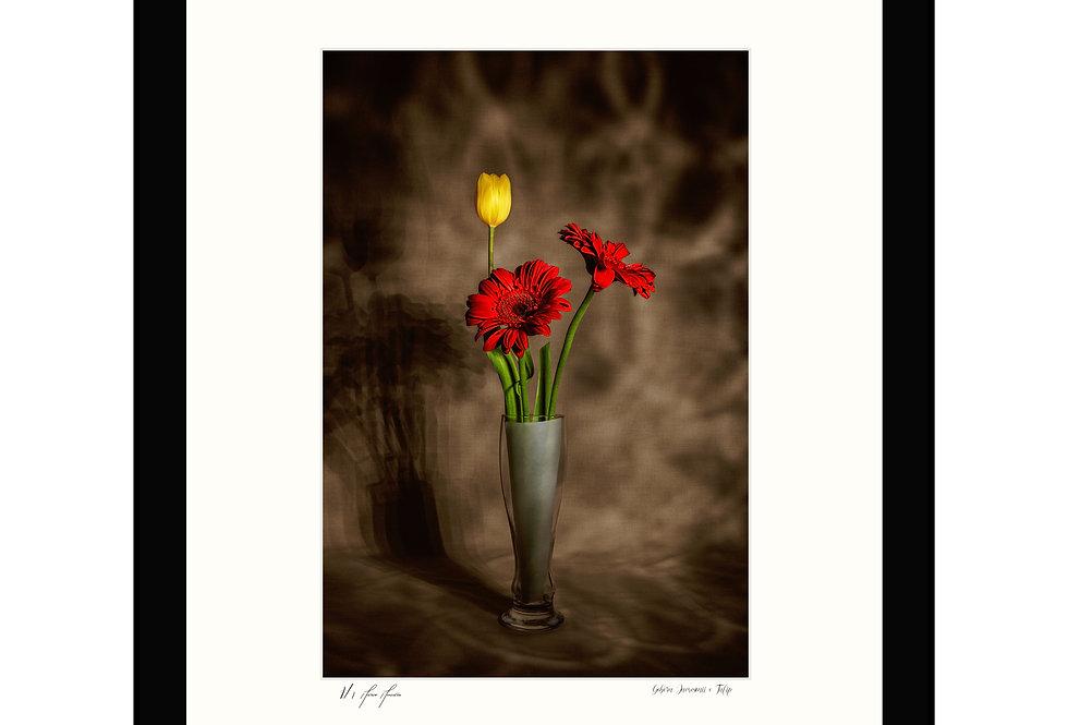 Gebera Jamesonii e Tulip