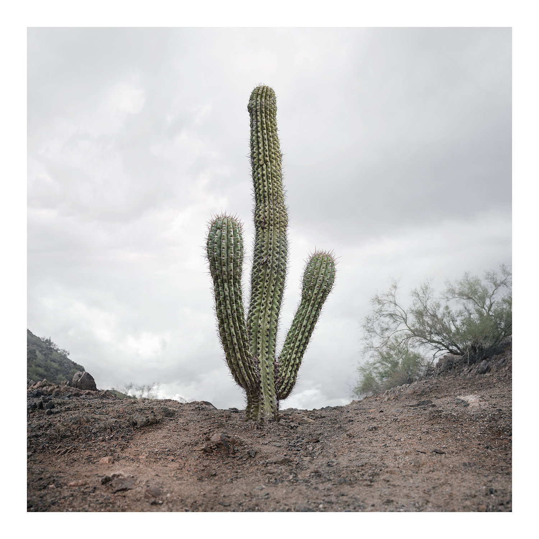Argentine Saguaro
