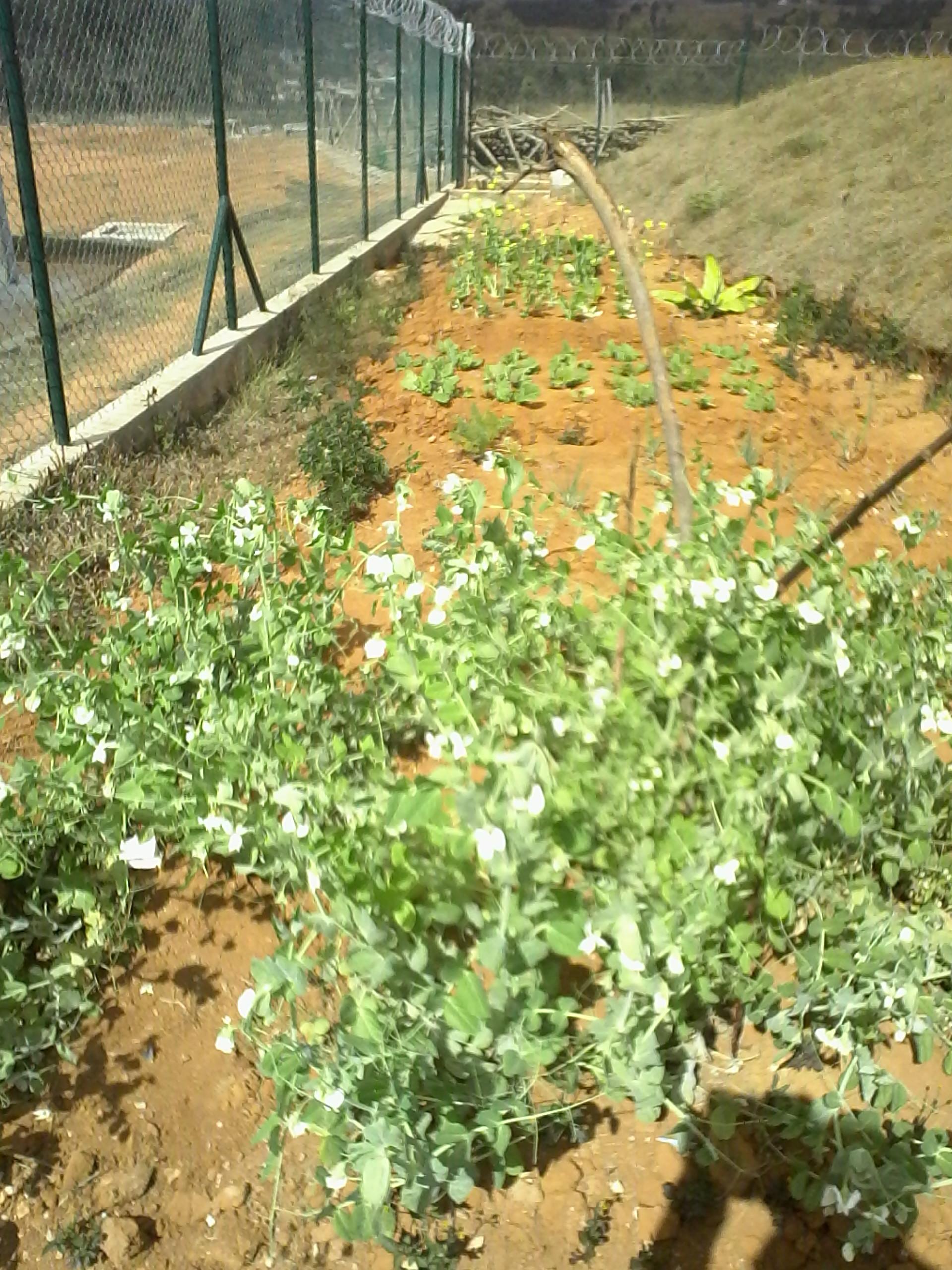 Garten mit Erbsen