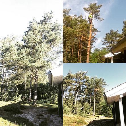 Topkapning fyrretræer Odsherred Vig Højby Nykøbing Sj Sjællads Odde Lumsås
