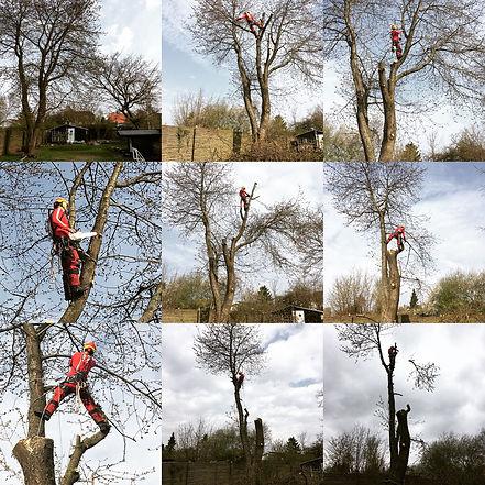 Topkapning KlatreSaven Rødovre København kirsebærtræ