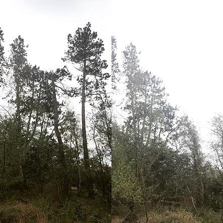 Topkapning fyrretræ Tengslemark Lyng Odsherred