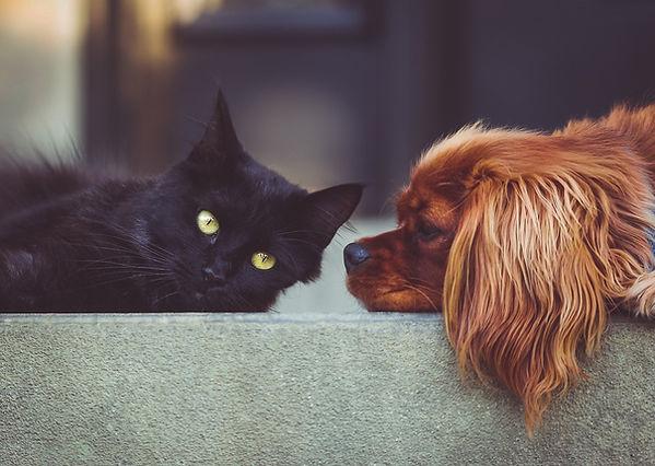 cocker spaniel and black cat.jpg