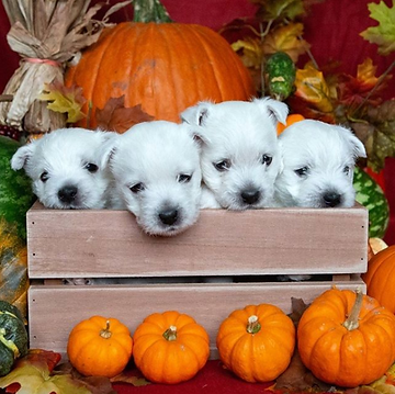 puppies in crate with pumpkins.png