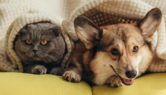corgi and grey cat under blanket togethe