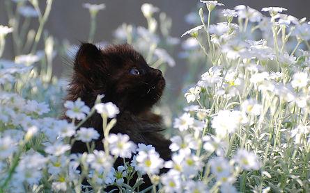 Black kitten white flowers.jpg