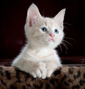 buff tabby kitten.jpg