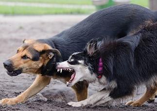 interdog aggression.png