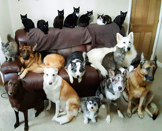 bunch of cats and dogs on sofa.png