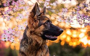 GSD with dogwood flowers.jpg