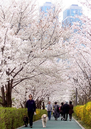 Walking dog under cherry trees.png
