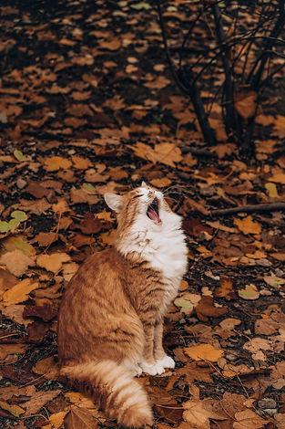 orange tabby yawning in fall leaves.jpg