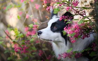 Border collie in spring flowers.jpg
