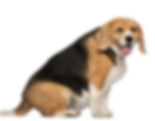 very fat beagle.png