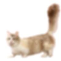 munchkin cat.png