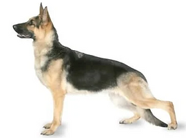German Shepherd with hip dysplasia due t