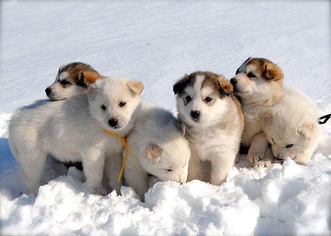 iberian-husky-puppies-wallpapers.jpg