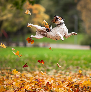 dog jumping in fall leaves.png