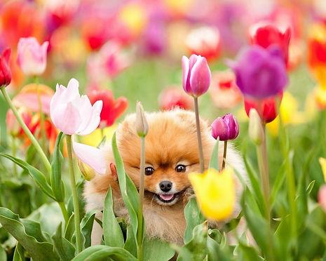 pomeranian puppy in tulips.jpg