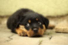 rottweiler-puppy.jpg