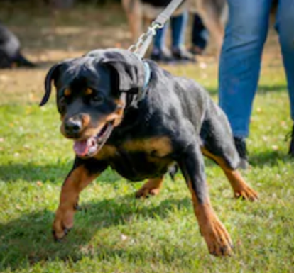 rottie pulling on leash.png