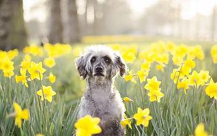 old grey dog in daffodils.jpg