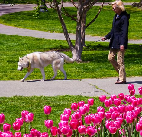 Walking husky in pink tulips.png