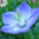 img_2914-campanula-resized-8x10.jpg