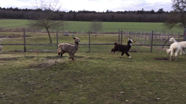 Alpaca Running