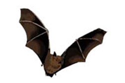 bat removal fairfax