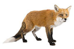 fox removal fairfax