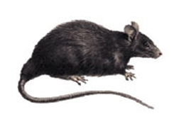 Rat Removal and Control in Alexandria, VA