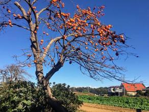 いつもの生活 柿の木の一年