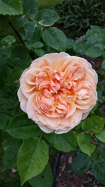 Rose Quartet (Quintet)