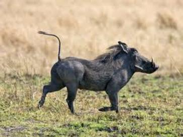 Warthog Stride