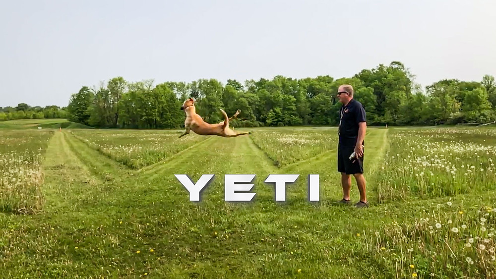 Yeti, dog training with Leda K9 and Jerry Sather of Labs Unlimited Kennels.  Throwing bumper for Yeti, yellow labrador retriever.