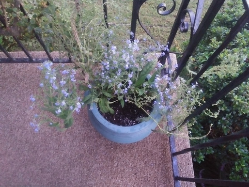 Chinese Forget Me Not, Makes a Comeback!