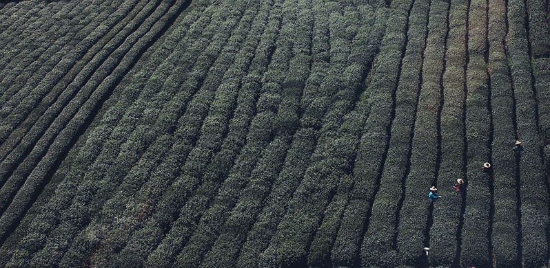 Los campos de té