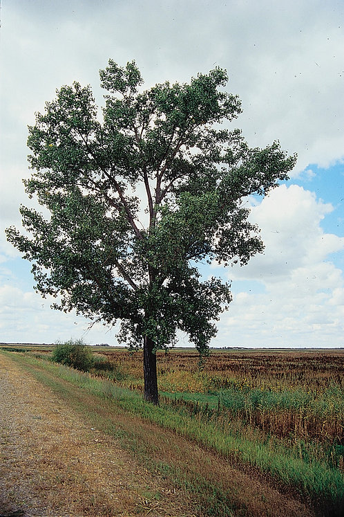 Plains Cottonwood