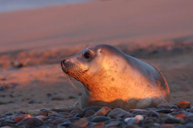 Dawn Seal